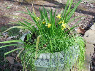 DaffyFressiaHyacinthContainer