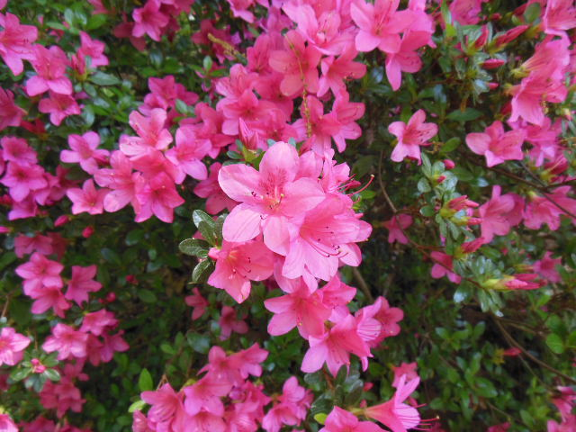 hot pink azalea Georgia zone 7b