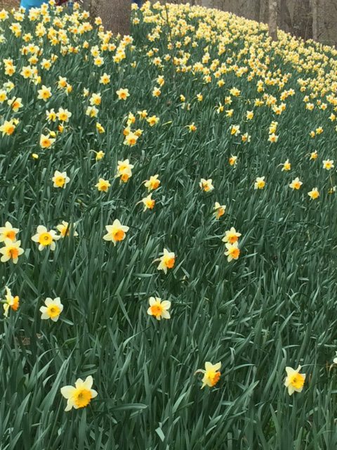 swath of daffodils on slope