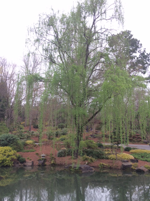 weeping willow from Gibbs Gardens March 2016