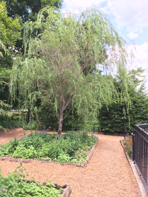 Weeping Willow at The Hermitage