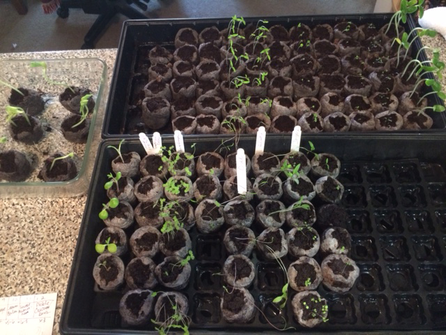 Seed starting tray for my organic garden 2016