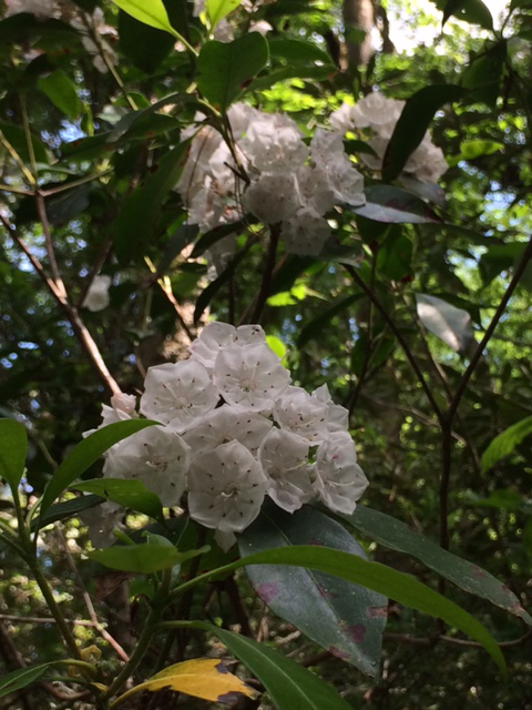 Snow white Mountain Laurel growing alongside Panther Creek Falls in Northeast Georgia May 2017