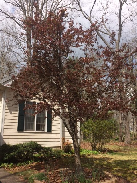 Zone 7B, Georgia, Trees, Crabapple Centurion
