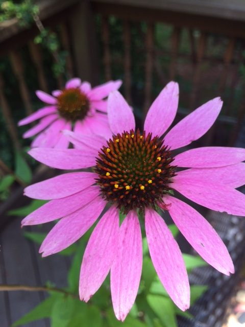 Georgia Native Plant, Zone 7b, Echinacea Purpurea, Giant Purple Coneflower,