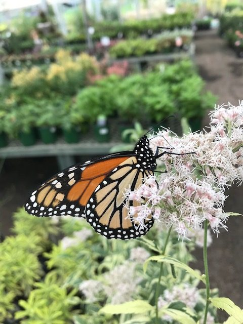Monarch Butterfly on Eupatorium bloom